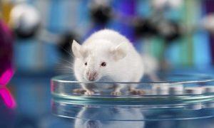 Các loại chuột thí nghiệm, thử nghiệm, kiểm định sinh phẩm